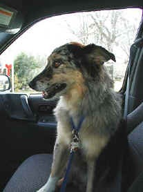 Lucky the Australian Shepherd that was a rescue dog.