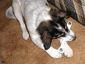 Millie the mixed terrier chewing on a wrench. She loves to chew metal things.